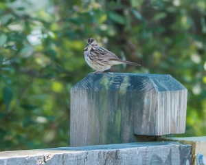 White Throated sparrow Croton 9-23-2014-1