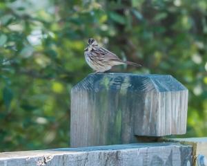 White Throated sparrow Croton 9-23-2014-1