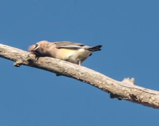 cedar waxwing nature center 2014-1