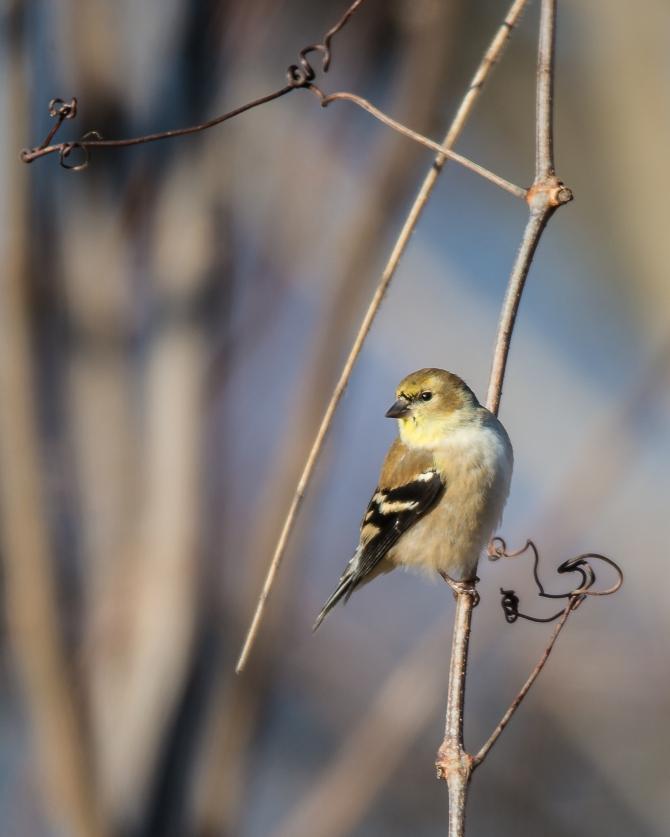 Croton Goldfinch Dec 2014-1