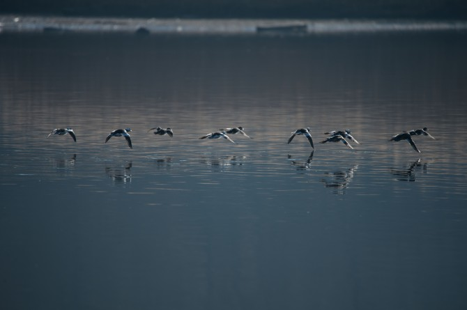 Buffleheads Croton Dec 2014-1