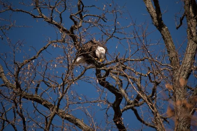 Eagle Verplanck 1-17-15-2