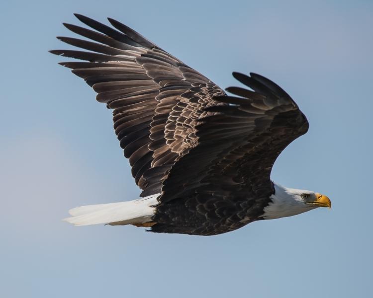 eagle mature-1
