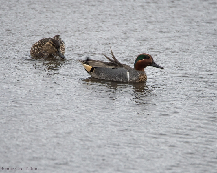 Green winged teal pair-1