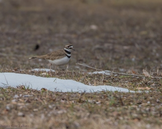 Killdeer March 2015-1