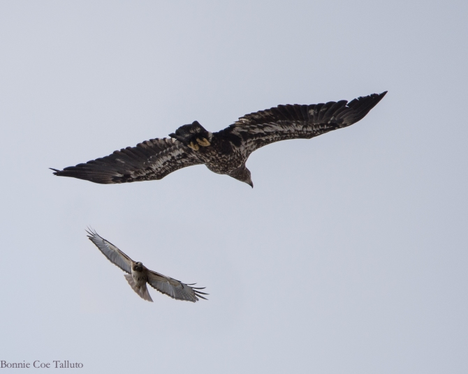 Red tail and eagle March 2015-1
