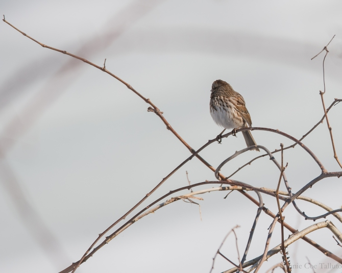 Redpoll March 2015-1