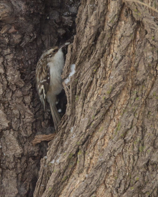Brown Creeper 2015 Croton-1