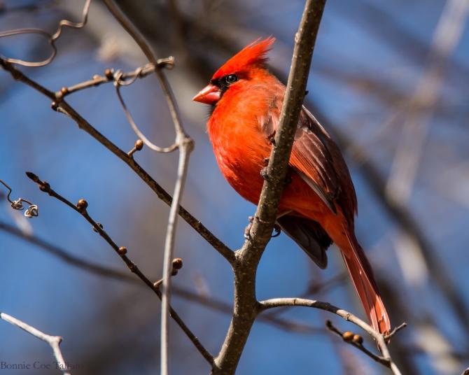 Cardinal 2015 Croton-1