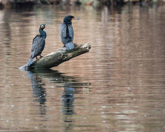 Cormorants at Black Rock-1
