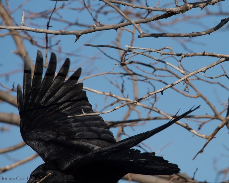 crow with stick croton-1