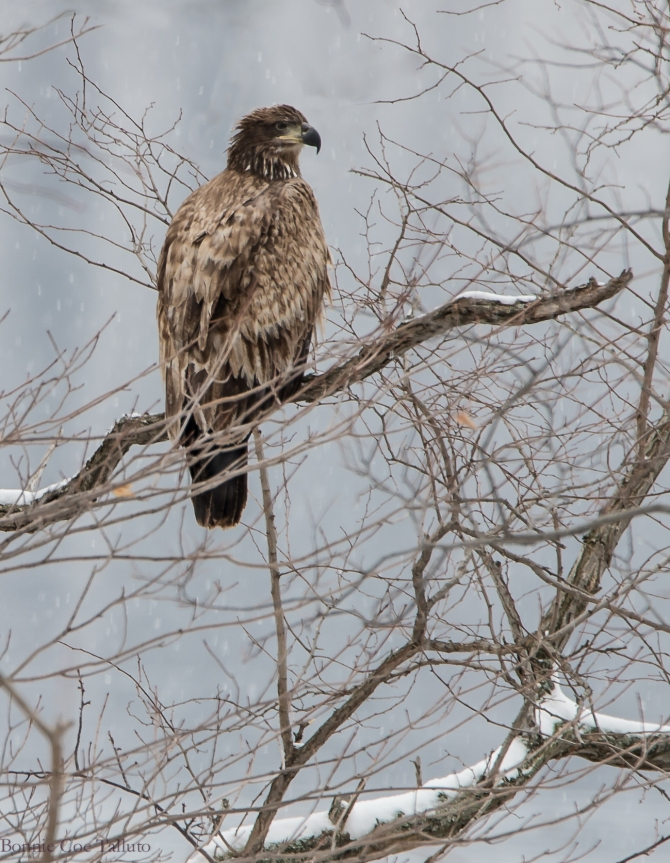Eagle 2015 Croton Point Nature Center-1