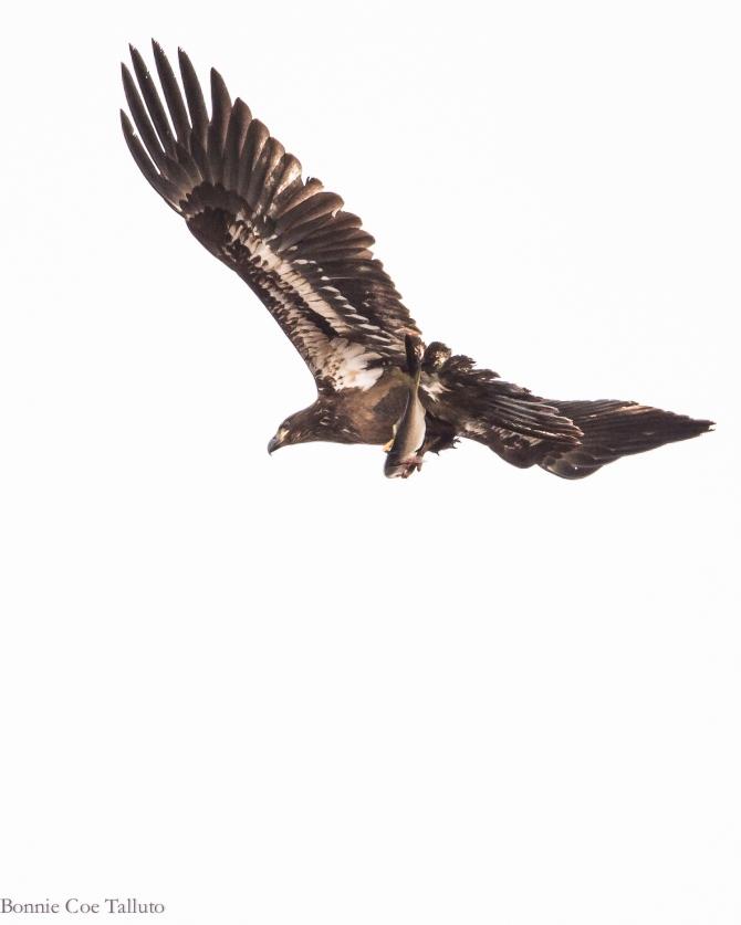 Eagle, immature with fish 2014 Croton-1