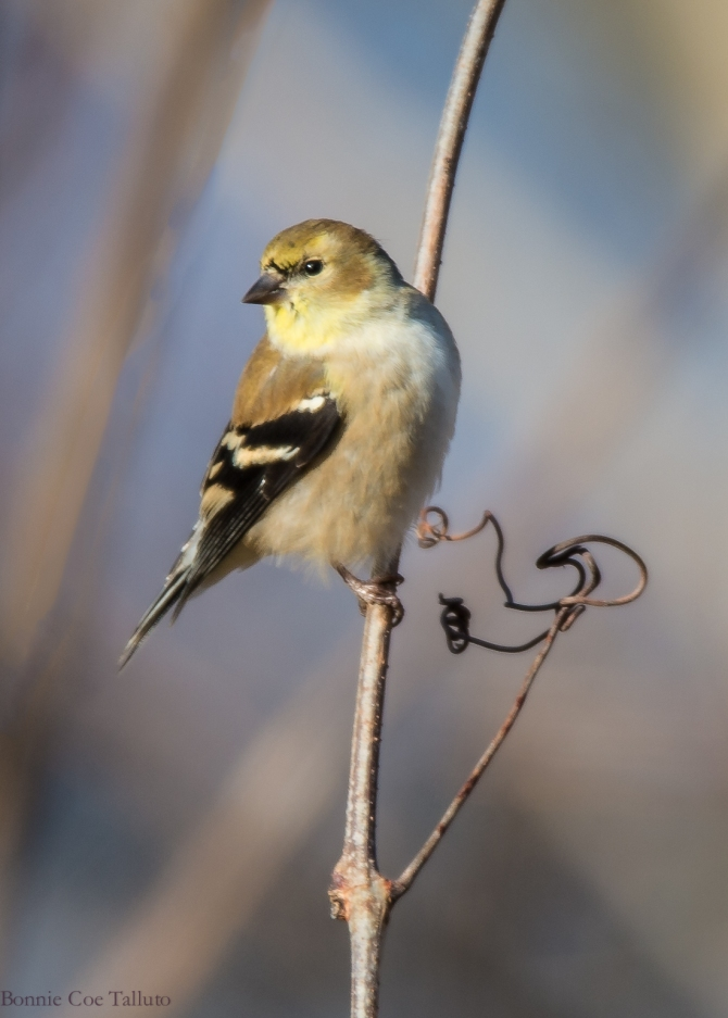 Goldfinch 2014 Croton-1