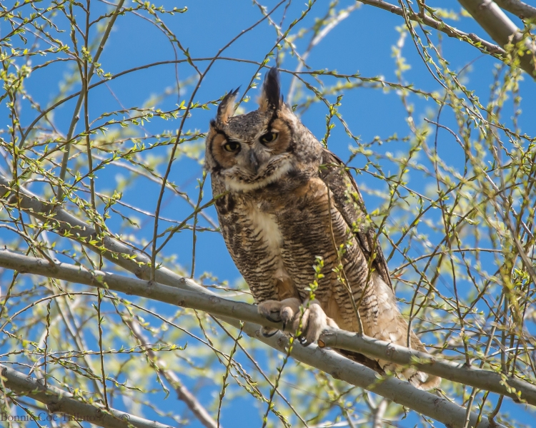 Great Horned Owl Apr 2015-1