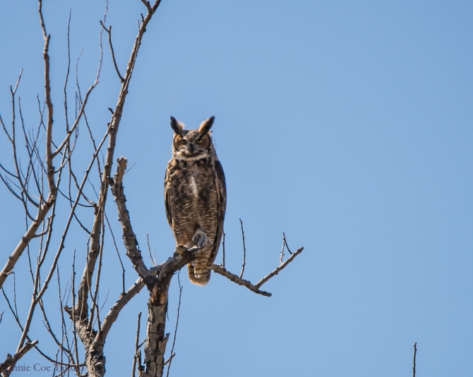 Great Horned Owl Apr 2015-2