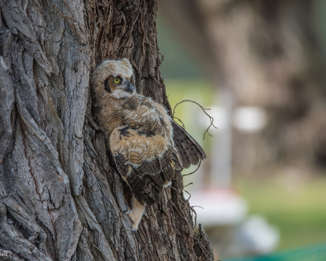 Great Horned Owlet April 2015 Croton-1