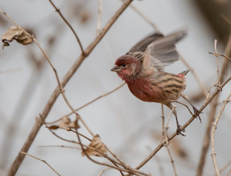 House finch 2014 Croton-1