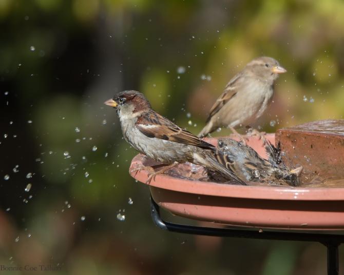 House sparrows 2014 Croton-1