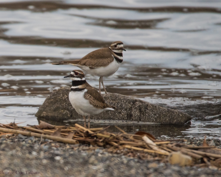 killdeer at Croton-1