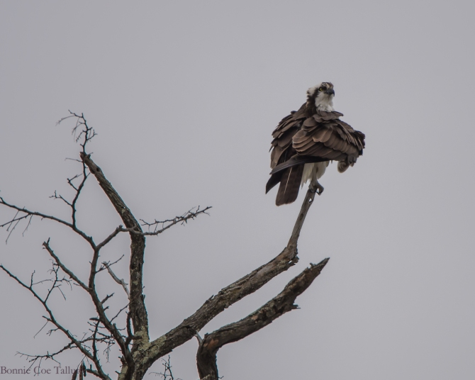 Osprey at Annsville-1