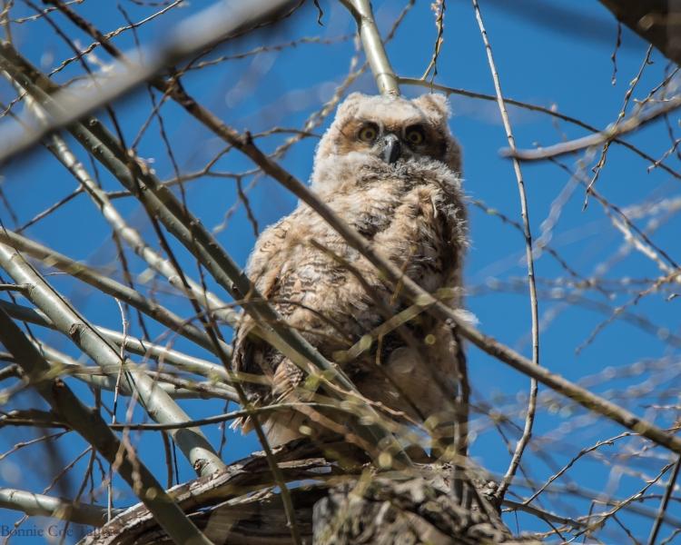 Owlet Apr 2015-2