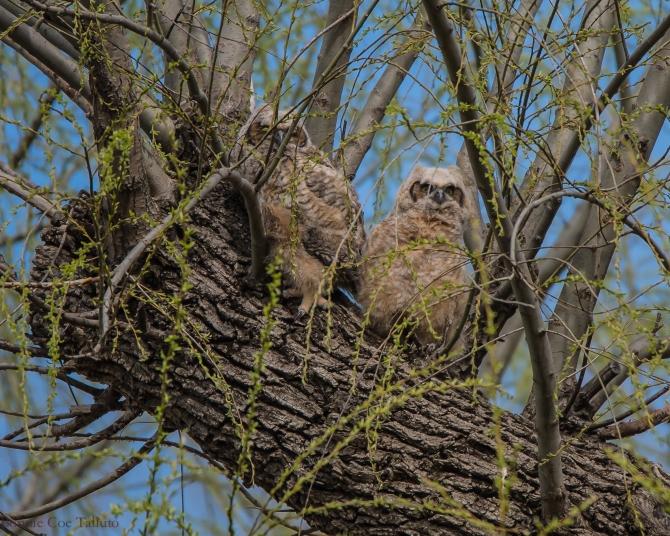 Owlets Apr 2015-1