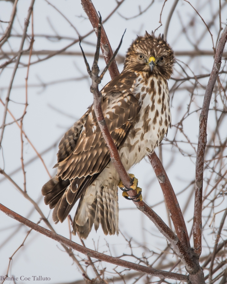 Red shouldered hawk, immature 2015 Croton-1