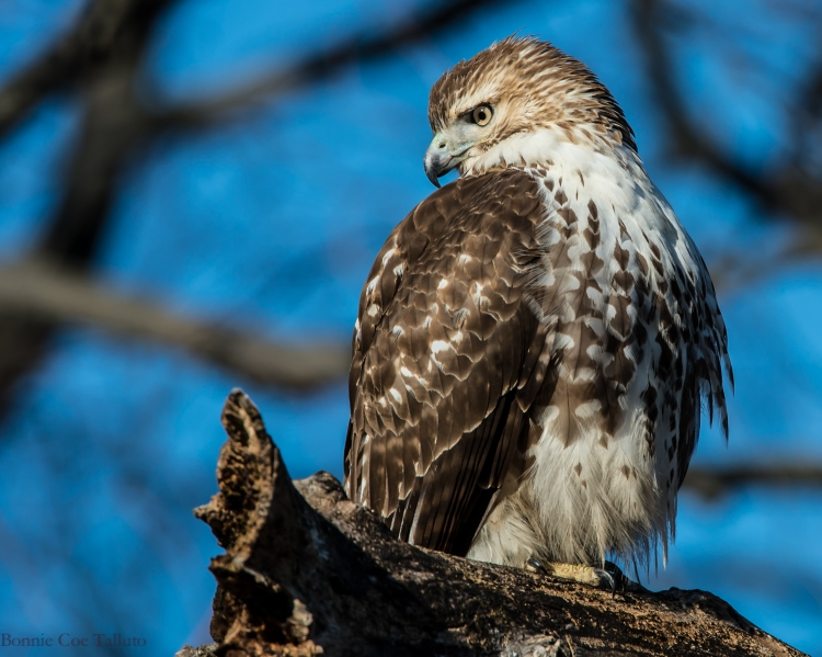 Red tailed hawk 2014 Croton-1