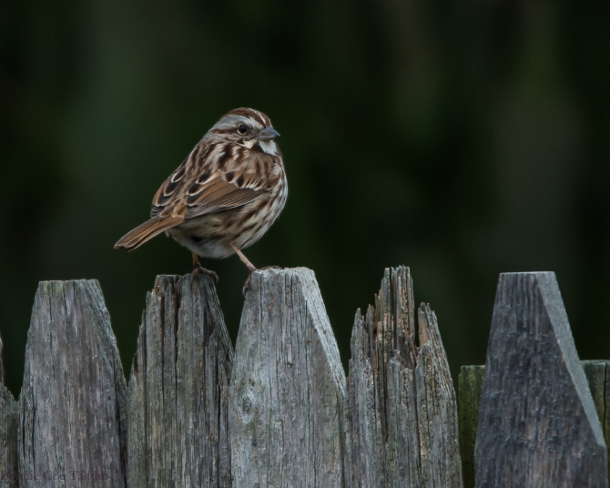 Song sparrow 2014 Croton-2