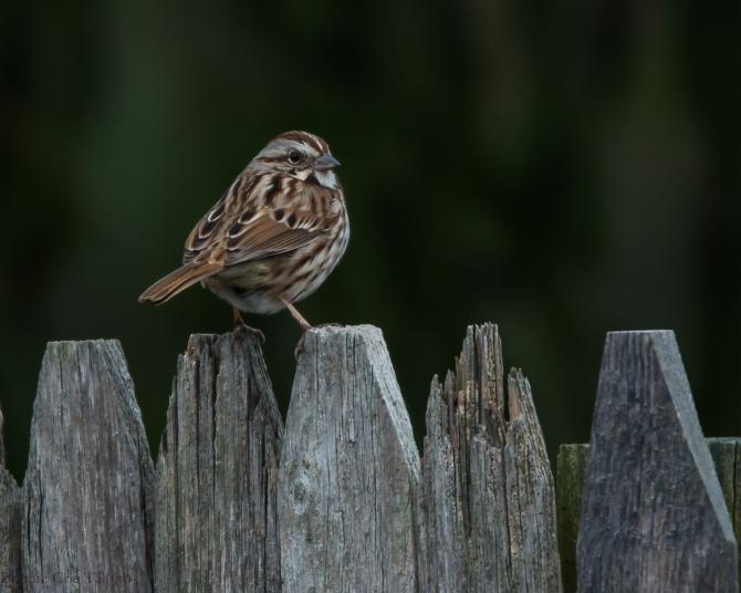 Song sparrow 2014 Croton-2