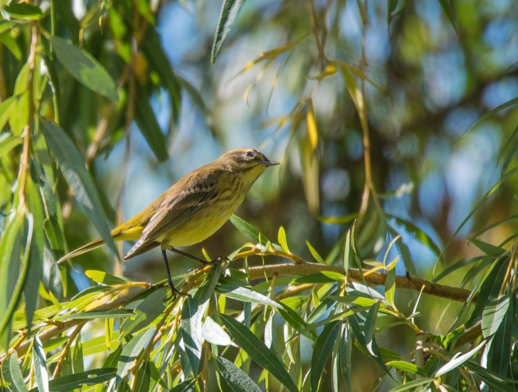 Yellow warbler 2014 Croton-1