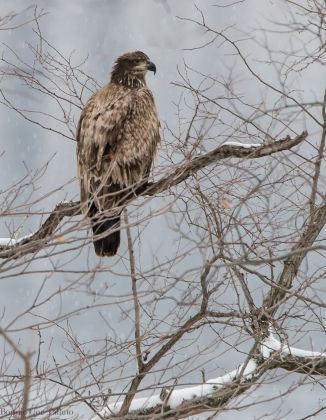 young eagle in snow-1