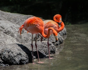Flamingos Bronx Zoo May 2015-1