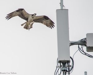 Osprey with fish to nest June 2015-3