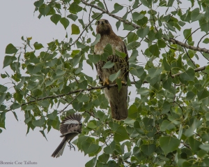 Red-tail attack by mockingbird June 2015-1
