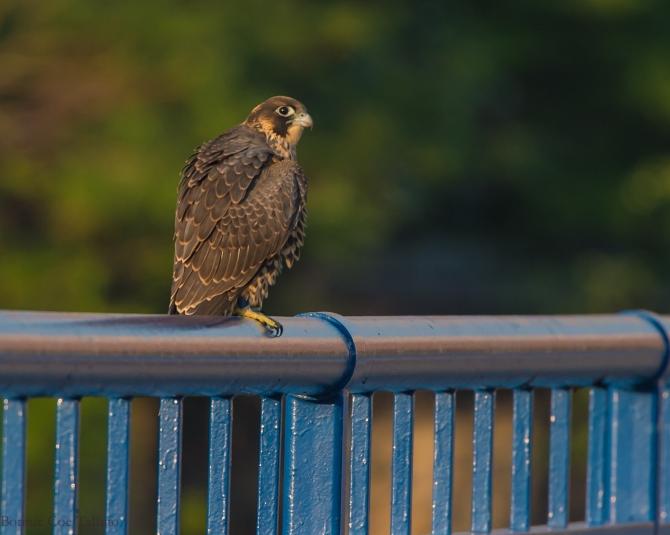 Rochester falcon Cadence 2015-1