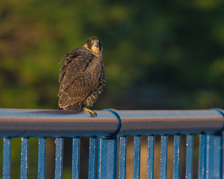 Rochester falcon Cadence 2015-2