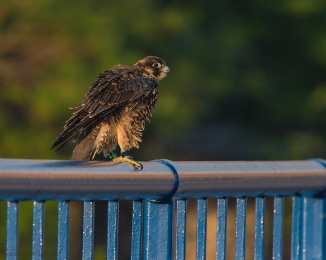 Rochester falcon Cadence 2015-3