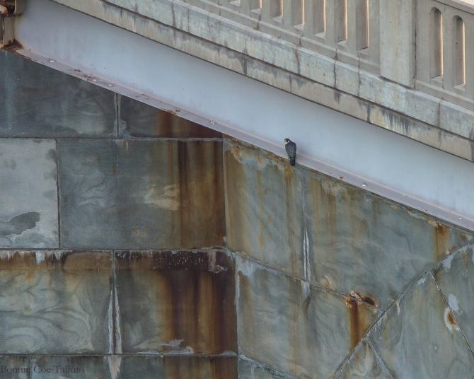 Rochester Seneca Towers falcon watch-1