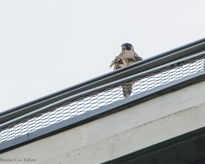 Rochester Seneca Towers falcon watch-2