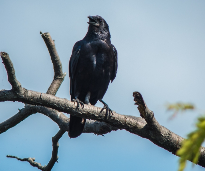 Crow in Croton-1