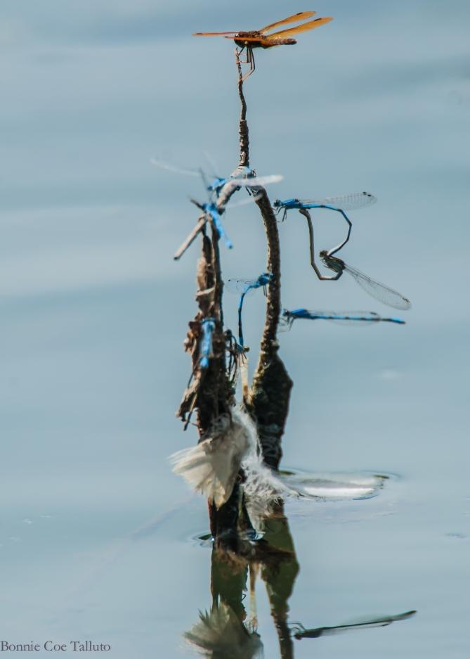 dragonflies Thornwood-1