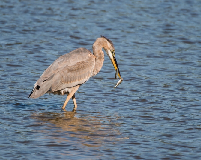 heron imm with two fish-1