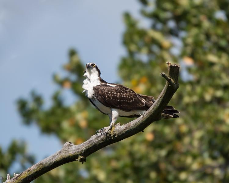 osprey croton nature center-1