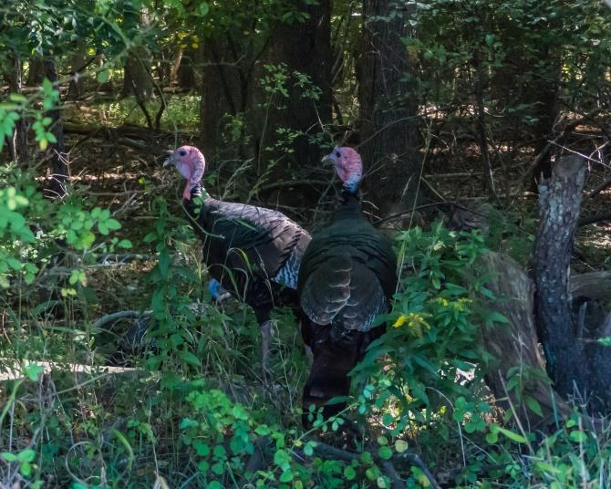 turkeys Marslands-2