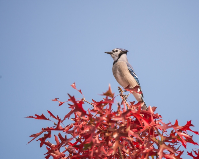 Blue Jay Fall Croton-1