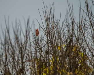 cardinal in fall croton-1