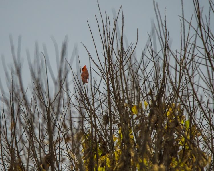 cardinal in fall croton-1