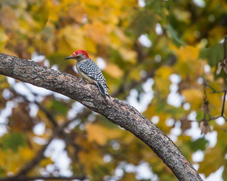 red bellied woodpecker backyard-1